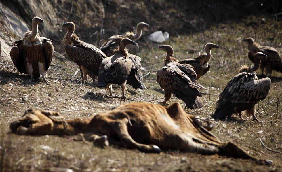Avvoltoi si appropinquano alla carcassa