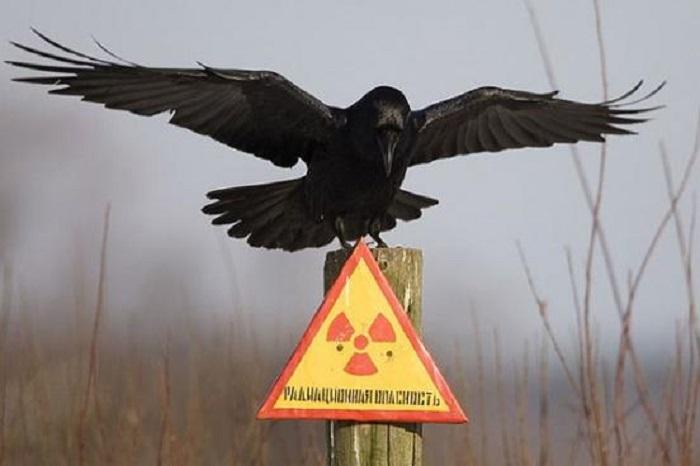 Gli uccelli nell'area di esclusione di Chernobyl hanno sviluppato dei meccanismi di adattamento alle radiazioni