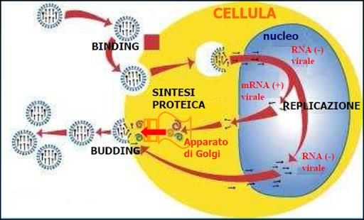Ciclo replicativo di un virus a RNA